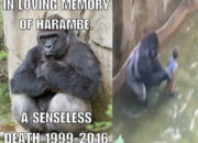 Cincinnati Zoo #Gorilla Harambe's KING KONG-Like Beginning & End: Boy Falls into Enclosure, Gorilla Killed